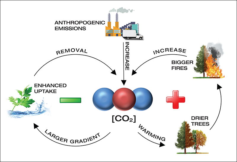 Cause and effect relationships for negative and positive carbon–climate feedbacks.