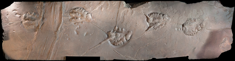 Trace fossil of dinosaur footprints