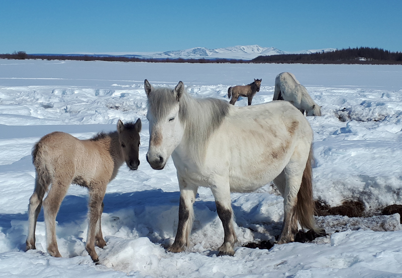 Horses trample snow at Pleistocene Park