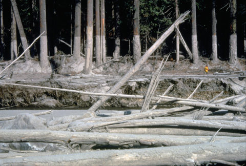Lahar mud line on trees along a river after the Mount St. Helens eruption
