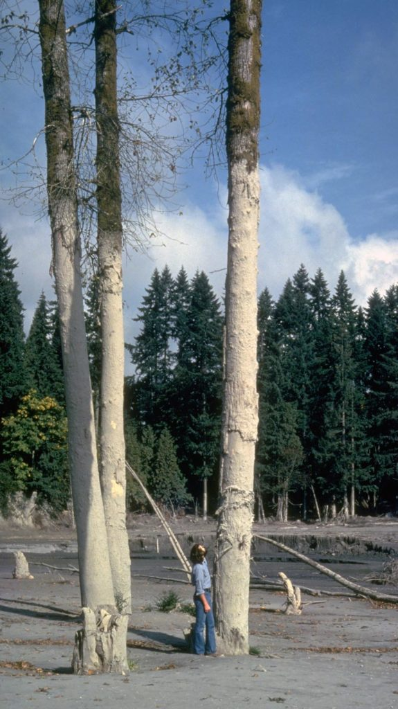 Trees marked by a mud line left by a Mount St. Helens lahar roughly 7.6 meters (25 feet) deep