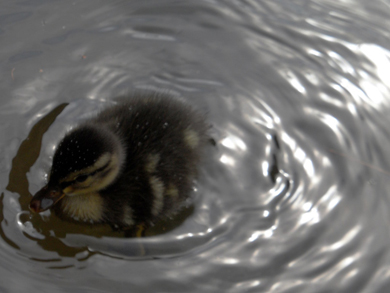 Photograph of a duckling creating waves as she swims