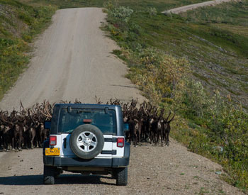 A herd of caribou blocks a car from travelling on a dirt road.