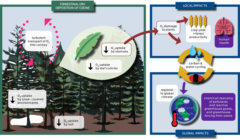 Schematic showing the processes contributing to ozone dry deposition and its impacts on air pollution, ecosystems, and climate