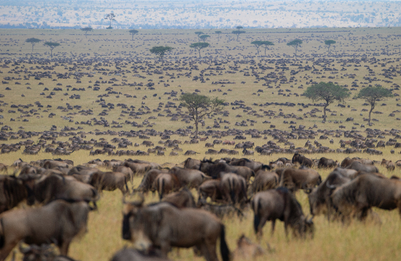 A large group of wildebeest gather at the river bank for a river crossing during the great annual migration.