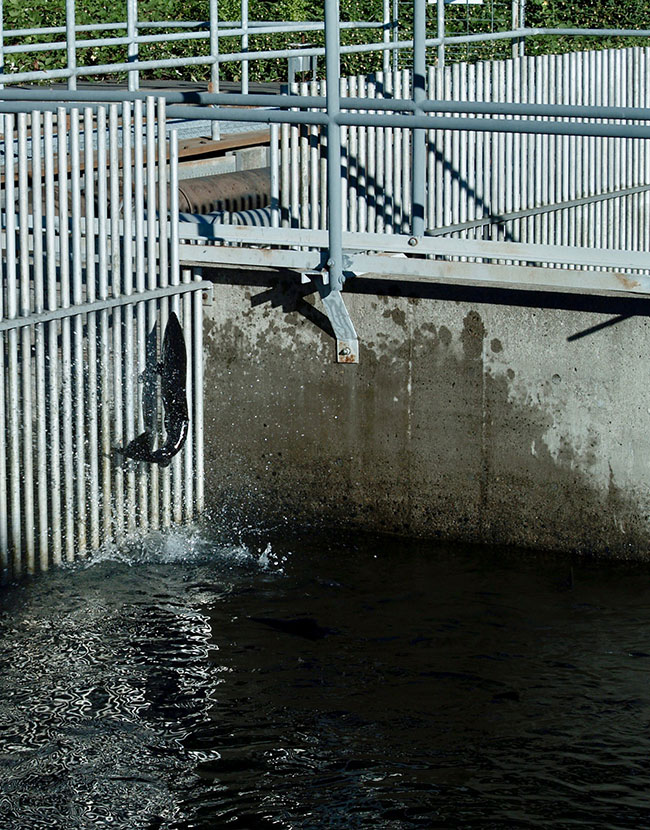 A large salmon leaps out of the water at a fish hatchery