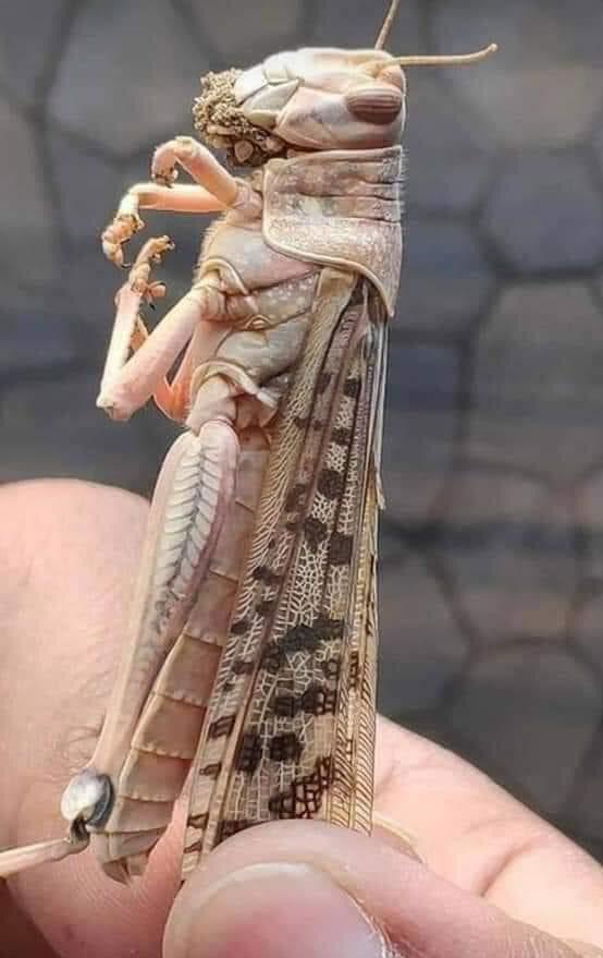 Close-up of a desert locust