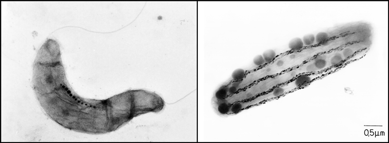 Slide image of magnetite chains in magnetotactic bacteria