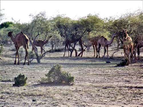 Camels walk and nibble on a grove of trees in the Thar Desert