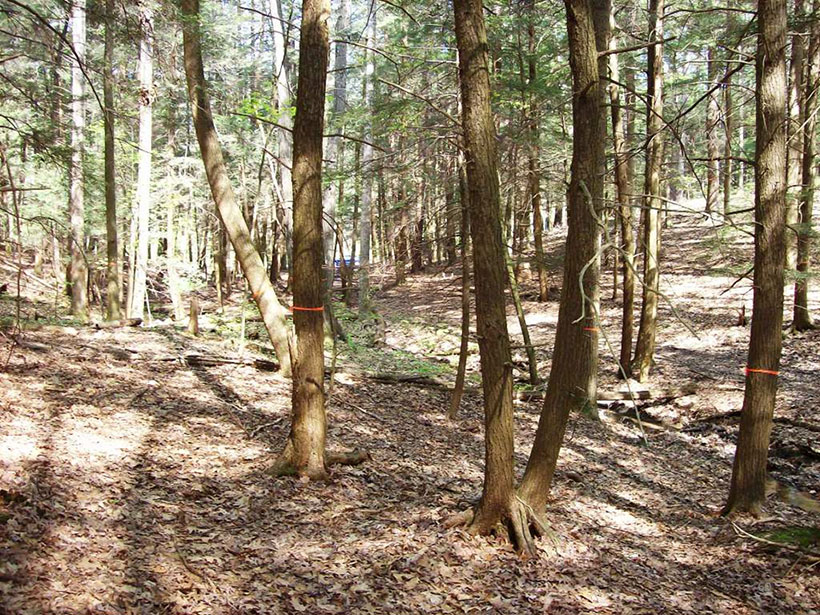 A view of trees within a forest at the Susquehanna Shale Hills Critical Zone Observatory in Pennsylvania