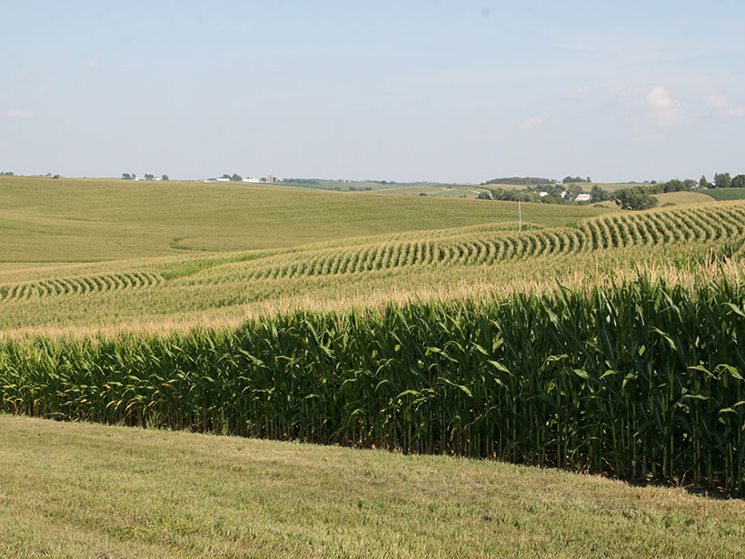 A gently sloping farm field planted with corn