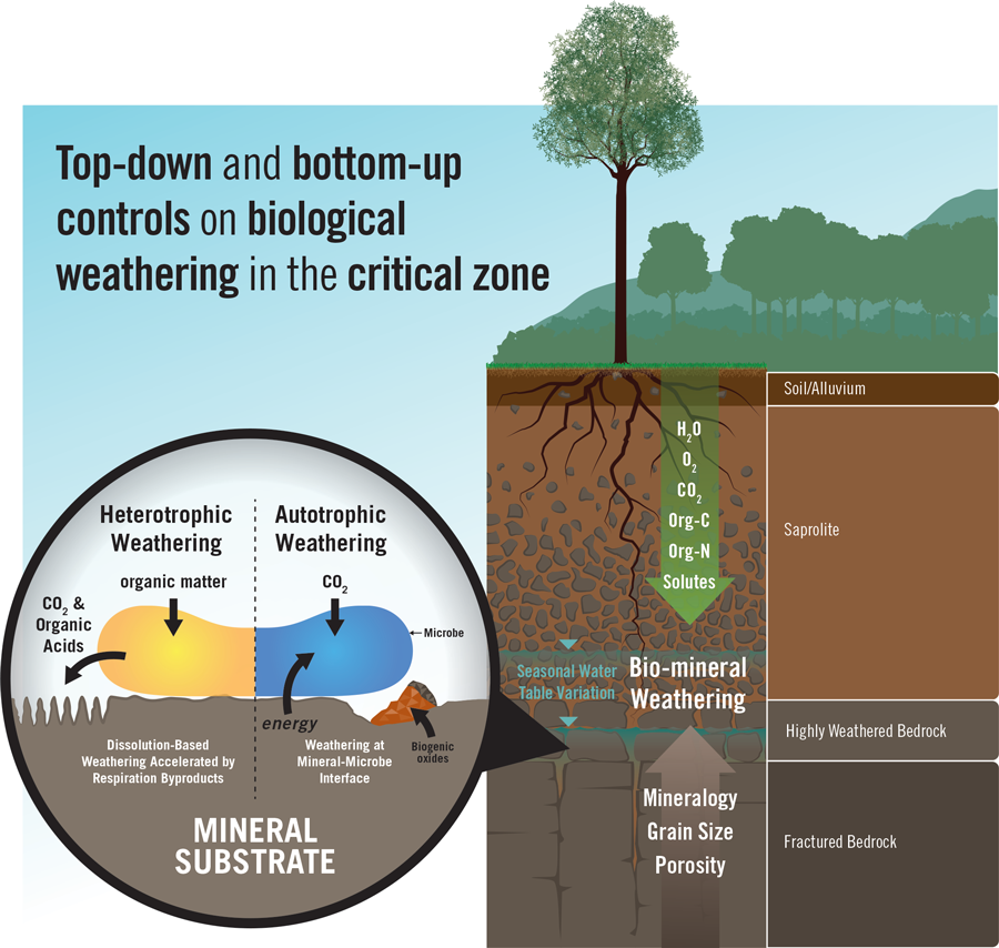 Schematic diagram of hypothesized top-down and bottom-up controls on and mechanisms of biomineral weathering in the deep critical zone