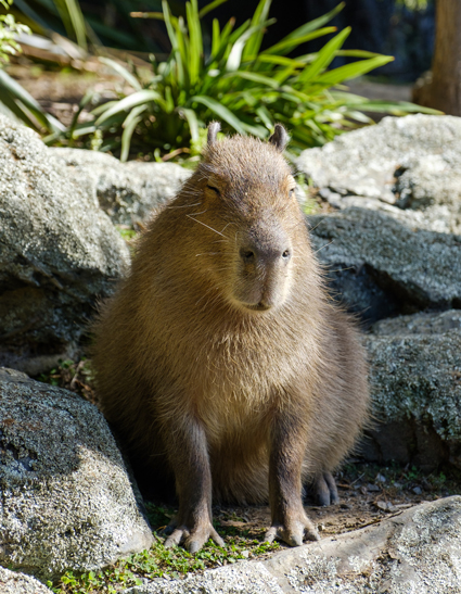Capybaras were among the South American mammals sampled in the study.