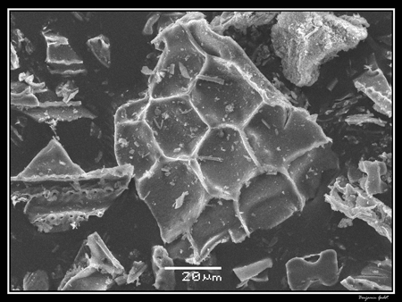 Electron micrograph of phytoliths extracted from elephant grass