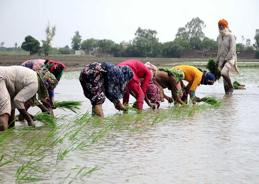 Una fila de mujeres se agacha para plantar arroz en un arrozal inundado