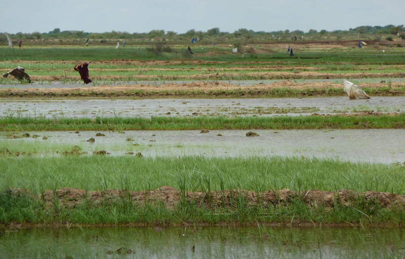 A flooded paddy field in Senegal River Valley