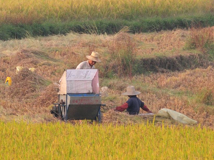Farmers work in a rice field