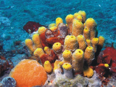 Coral reefs in the Northern Adriatic