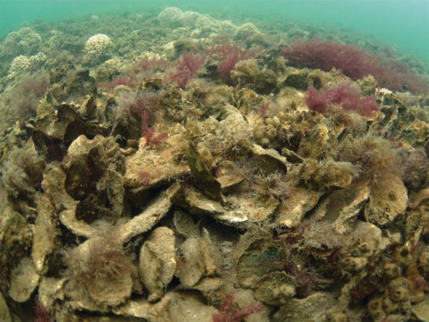 A restored oyster reef