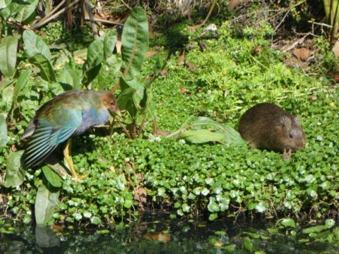 American purple gallinule and guinea pig in a Bogotá wetland