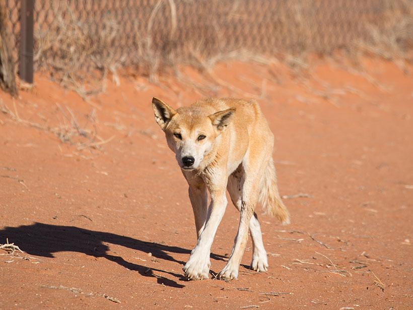 A dingo trotting by the Dingo Fence