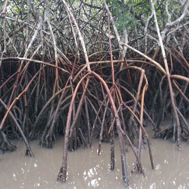 Close-up view of prop roots of mangrove trees