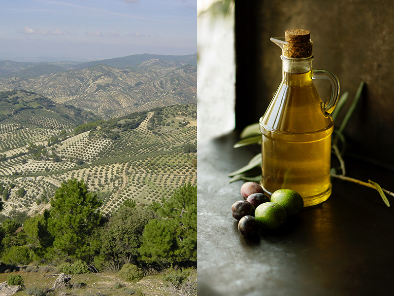 Olive groves growing on hillsides (left) and bottle of olive oil (right)