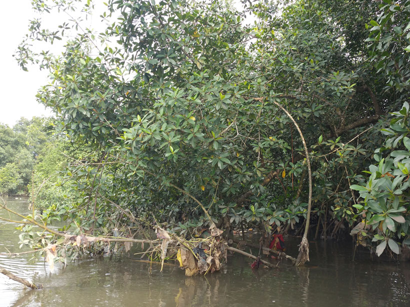 Plastic litter hangs from the low branches and leaves of mangrove trees
