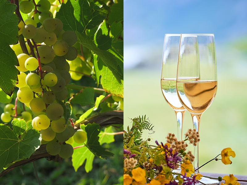 Green wine grapes growing on a vine (left) and two glasses of wine (right)