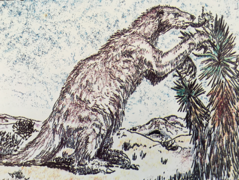 Drawing of a Shasta ground sloth eating flowers from a Joshua tree