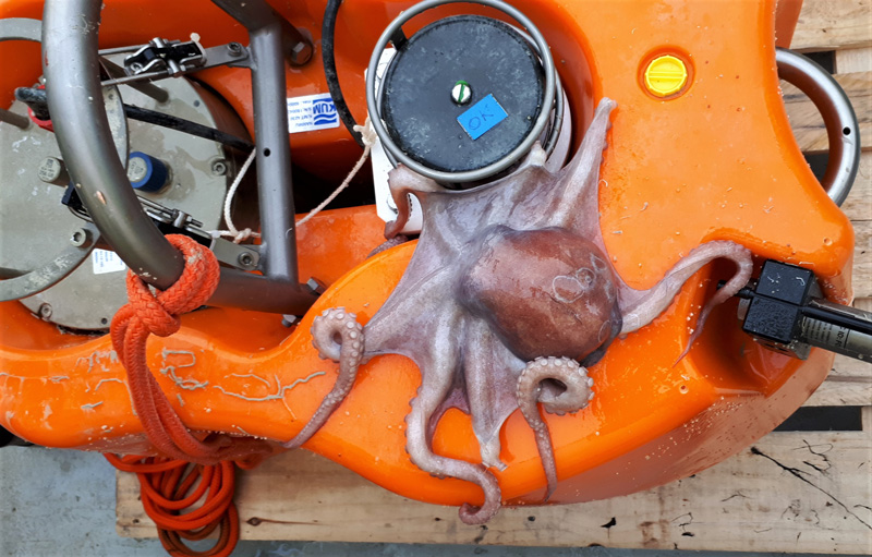 Close up view of an octopus sitting on an ocean bottom seismometer