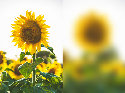 Two photographs of a sunflower. The left photograph is blurred.