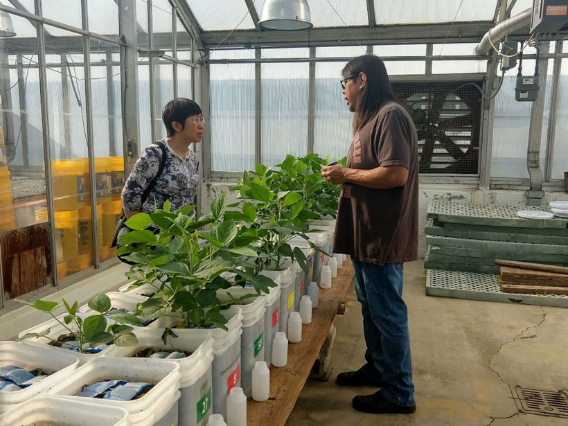 Soybeans grow in buckets in a greenhouse at Bowling Green State University.