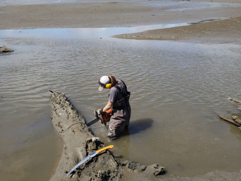 A researcher uses a chainsaw to cut into a dead tree that is partly submerged in a coastal mudflat