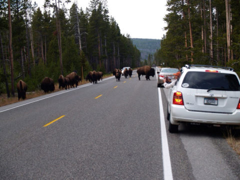 Cars pull over on the side of a road in Yellowstone to let a herd of bison pass by.